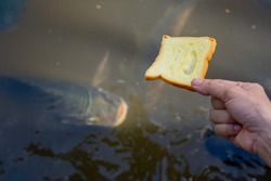 Fish feeding of people travel relaxing time in holiday, bread on hand for feeding to fish in pond, hand holding food for many fish in river, close up hand and bread to pond