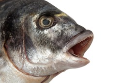 Fish Head isolated on white + Clipping Path