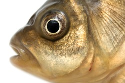 fish head on a white background