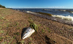 Fish head on the sea beach near the sea, poor ecology