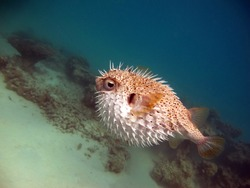 Fish hedgehog. A hedgehog fish with long spines - grows up to 92 cm, feeds on sea urchins and crabs, hunts mainly at night.