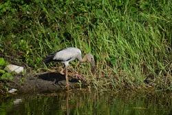 Fish hunting heron bird on the lake, ash grey long crane heron bird, tall heron crane fish catching bird