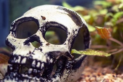 Fish in an aquarium with a skull, close-up