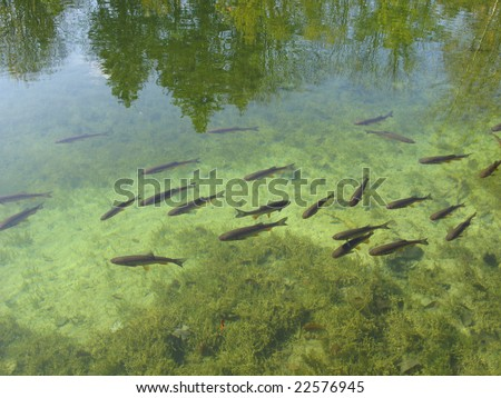 Fish in clear lake