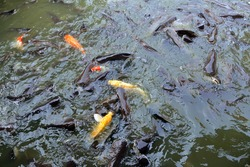 Fish in farmland.Release fish and feed the fish.Fish pond in thailand.