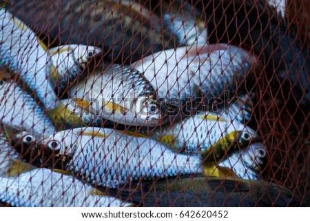 Fish in net ,Fishing net .