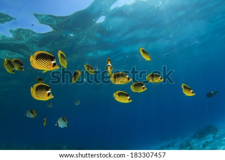 Fish in Ocean: Red Sea Raccoon Butterflyfish #183307457