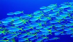 Fish in ocean. Snapper fish school. Shoal of fish in sea