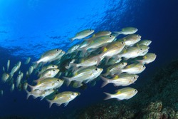 Fish in ocean. Snapper fish school. Shoal of fish in sea