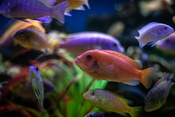 Fish in the aquarium. Colorful fish swim in the water. Exotic fish of bright color. Beautiful background under water.