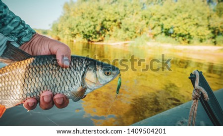 Fish in the hand of an angler. Chub. #1409504201