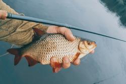 Fish in the hand of an angler. Fishing on tenkara.
