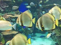 Fish inside a commercial community aquarium. Salt water fish living in a artificial habitat