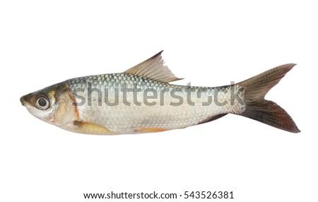 stock-photo-fish-isolated-on-white-backg