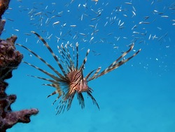 Fish Lion, Fish Zebra. Lionfish warrior - Devil firefish.