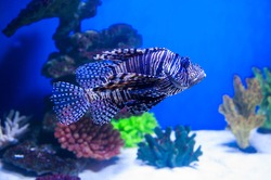 fish lionfish in the aquarium on the blue background with Red sea