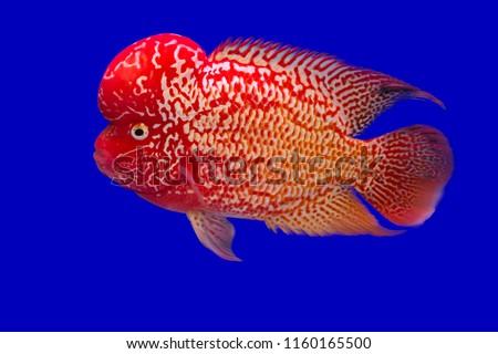 Free Photos Aquarium Fish Flower Horn Fish On Blue Screen Avopix Com