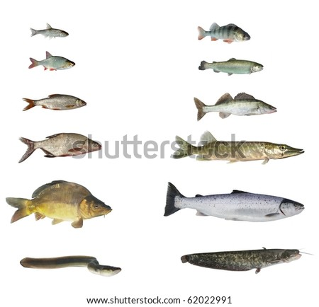 fish of rivers and lakes on white background