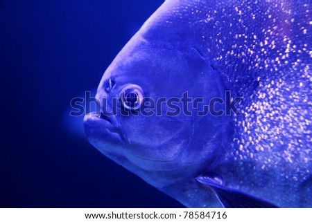 fish piranha macro face detail blue color water background