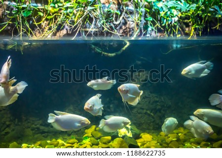 Fish piranhas in the water, the Amazon river. Diving and freediving tourist trips, Piranhas in the waters of the river, jungle danger