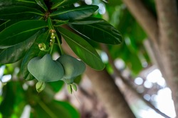 Fish poison tree or sea poison tree or Barringtonia asiatica tropical jungle fruit. Fish Poison Tree,Putat, Sea Poison Tree A mangrove tree Popular Place decoration.