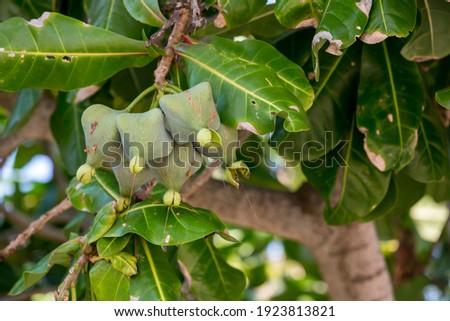 Fish poison tree or sea poison tree or Barringtonia asiatica tropical jungle fruit. Fish Poison Tree,Putat, Sea Poison Tree A mangrove tree Popular Place decoration. Сток-фото ©