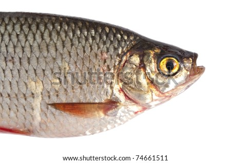 Fish portrait isolated on white