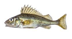 Fish ruff isolated on white background (Gymnocephalus cernuus)
