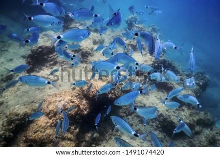 Fish School Underwater. Fishes underwater background.