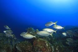 Fish school underwater in ocean