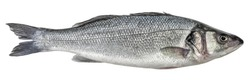 Fish sea bass isolated. Side view