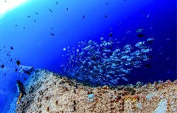 Fish shoal at coral reef barrier underwater. Diving underwater. Underwater divers