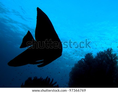 Fish silhouette, Longfin Batfish (Platax Teira) in indo-pacific ocean, Indonesia.