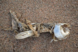 Fish skeleton (symbol for food shortage and misery) on sandy beach near Kapchagay reservoir, Kazakhstan. Dead fish skeleton on beach. Carcasses of a dead fish on sand as symbol of environmental impact