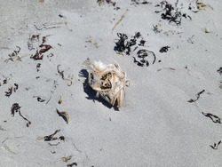 Fish skeletons and severed skulls that wash up from the ocean and stay on the beach laying in the sand. The bones are all that remains of this fish head with it's jaw hung open.