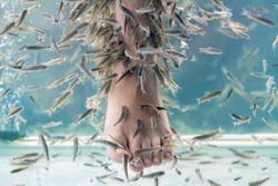 Fish Spa pedicure with Rufa Garra. Feet and fish in blue water. Closeup, selective focus