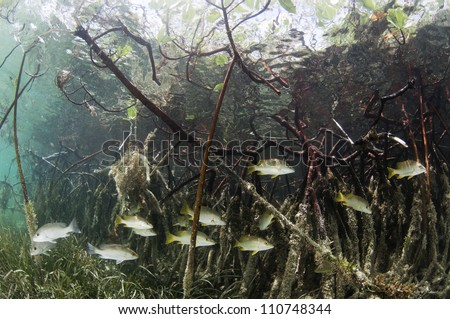 fish swimming through mangrove forest roots
