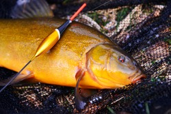 Fish tench lying on a fishing net with a fishing float