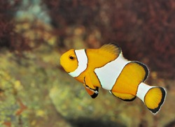 Fish - the clown. A colourful tropical fish under water