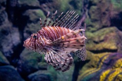 Fish the red lionfish  in the aquarium