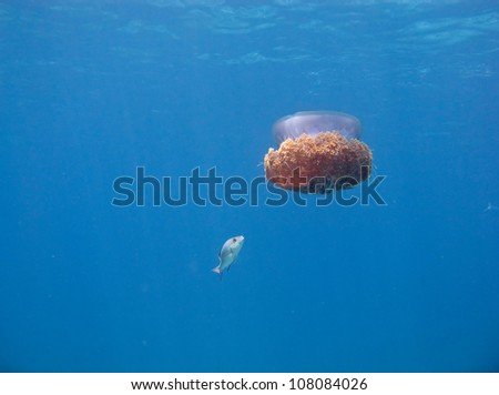 Fish trying to eat huge jellyfish andaman sea similan for What do jelly fish eat