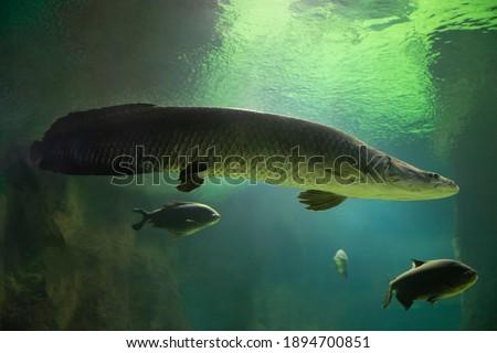 Fish under water. Arapaima fish - Pirarucu Arapaima gigas one largest freshwater fish. Fish in the aquarium behind glass.
