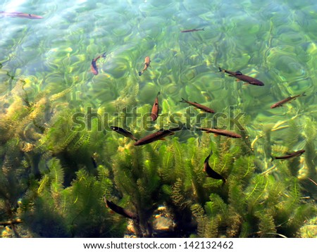 fish visible in clear water, blue lake in Plitvice, Croatia, National Park UNESCO