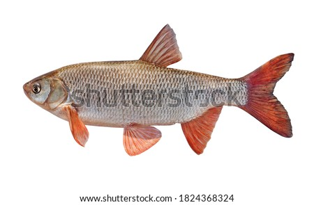 Fish with red fins. freshwater fish ide isolated on a white background. Live fish Foto stock ©