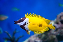 Fish Yellow Fox Lo, Foxface rabbitfish, with open fins fan on a blue background. Marine life, exotic fish, subtropics.