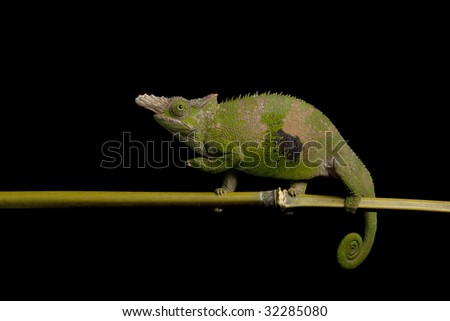 Fisher??s chameleon (Chamaeleo fisheri) isolated on black background.