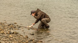 Fisherman lands a pink salmon (Oncorhynchus gorbuscha) by the tail in shallow water on the Kitimat River, British Columbia, Canada