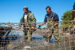Fisherman Retrieves Fishes With Landing Net.  A fishermen scoops up fish from a net.  Fishing Industry.