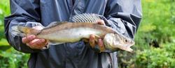 Fisherman trophy- zander fish