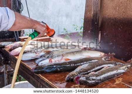Fisherman washes freshly caught fish. Many pikes lie in a row #1448134520